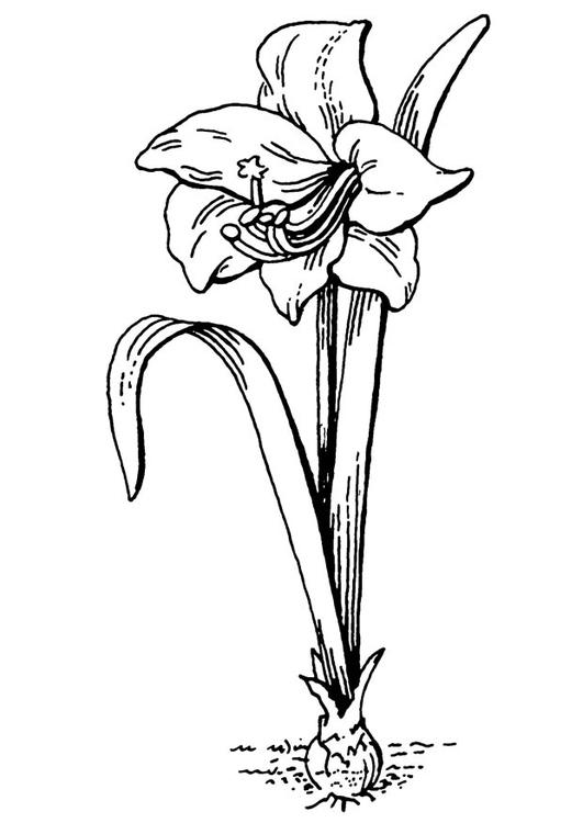 Kleurplaten Bloemen En Planten.Kleurplaat Bloem Amaryllis Afb 18828