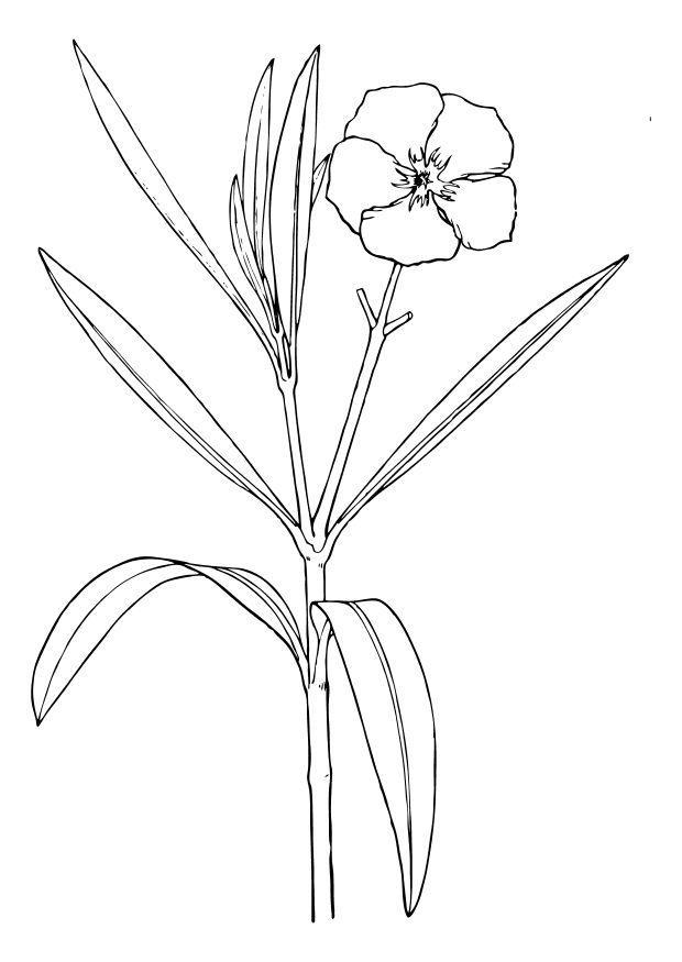 Kleurplaat bloem oleander