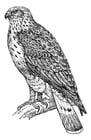 Kleurplaat Havik Kleurplaat Roofvogel Afb 18872