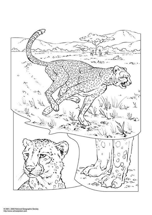 Kleurplaat Cheetah Afb 3051
