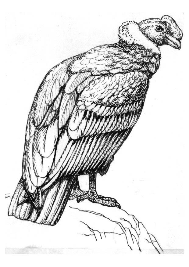 Kleurplaten Dieren Vogels Kleurplaat Condor Afb 16622 Images