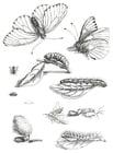 Kleurplaat cyclus van de vlinder