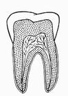 Kleurplaat doorsnede tand