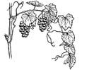 Kleurplaat druivelaar