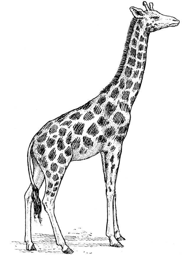 Kleurplaat Giraf Afb 16637
