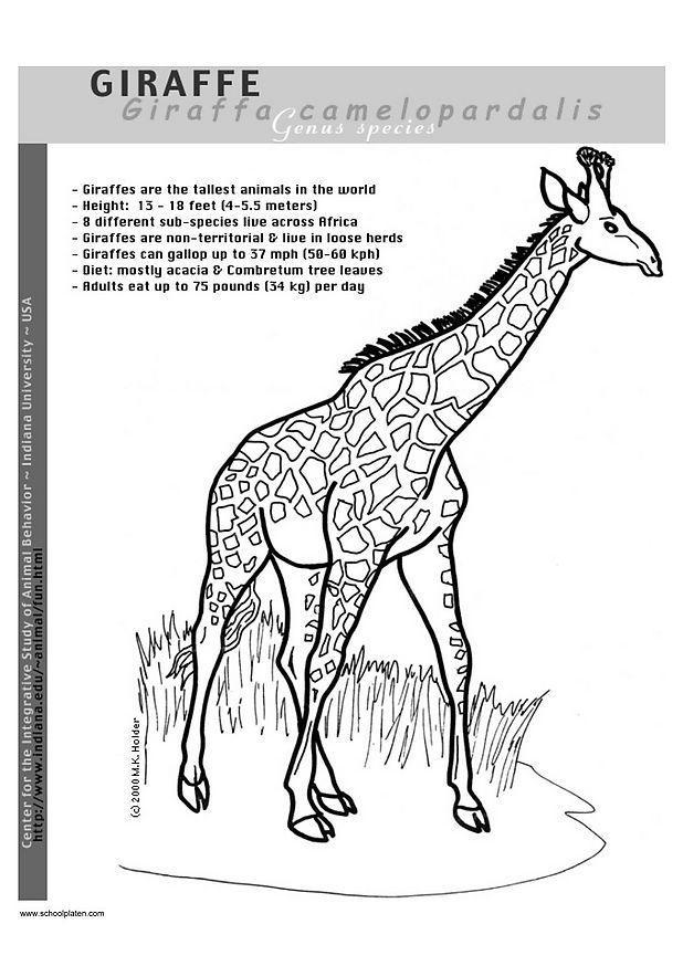 Kleurplaat Giraf Afb 2948