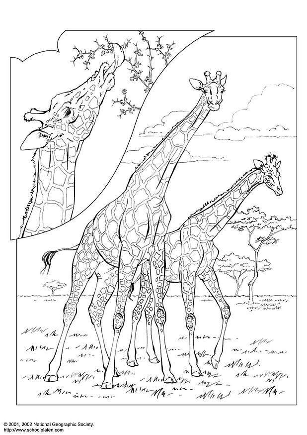 Afbeeldingen Kleurplaten Voor Volwassenen Kleurplaat Giraf Afb 3059