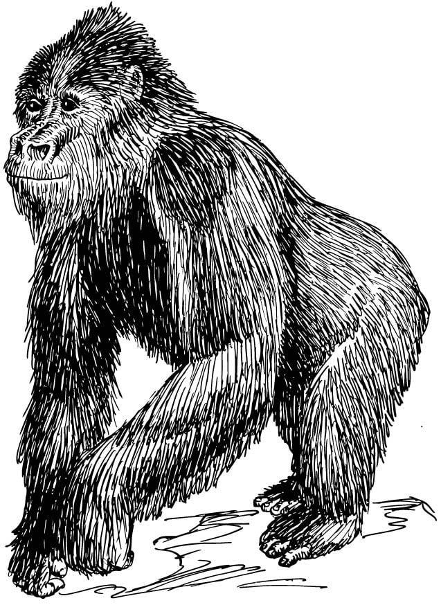 Dieren Afbeeldingen Kleurplaten Kleurplaat Gorilla Afb 15754