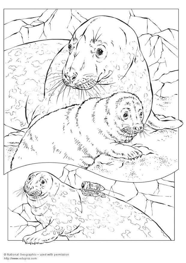 Kleurplaten Dolfijnen En Zeehonden.Kleurplaat Grijze Zeehond Afb 5739