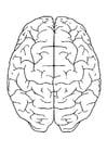 Kleurplaat hersenen boven