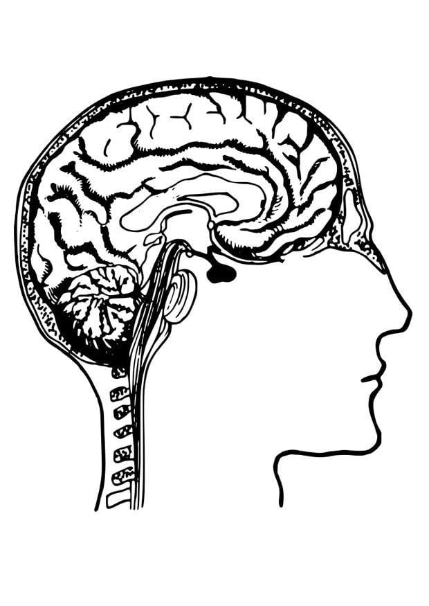 kleurplaat hersenen
