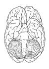 Kleurplaat hersenen onder