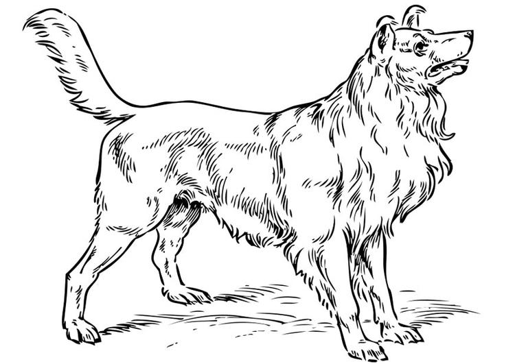 Kleurplaat Hond Collie Afb 17317