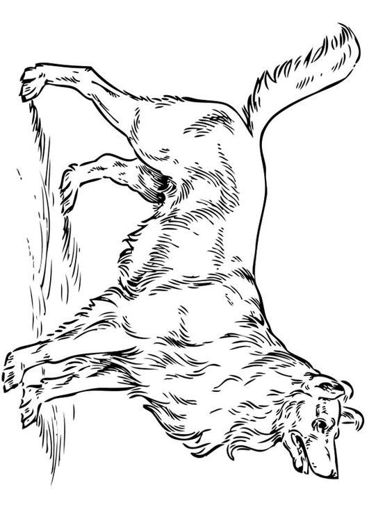 Afbeeldingen Honden Kleurplaten Kleurplaat Hond Collie Afb 17317