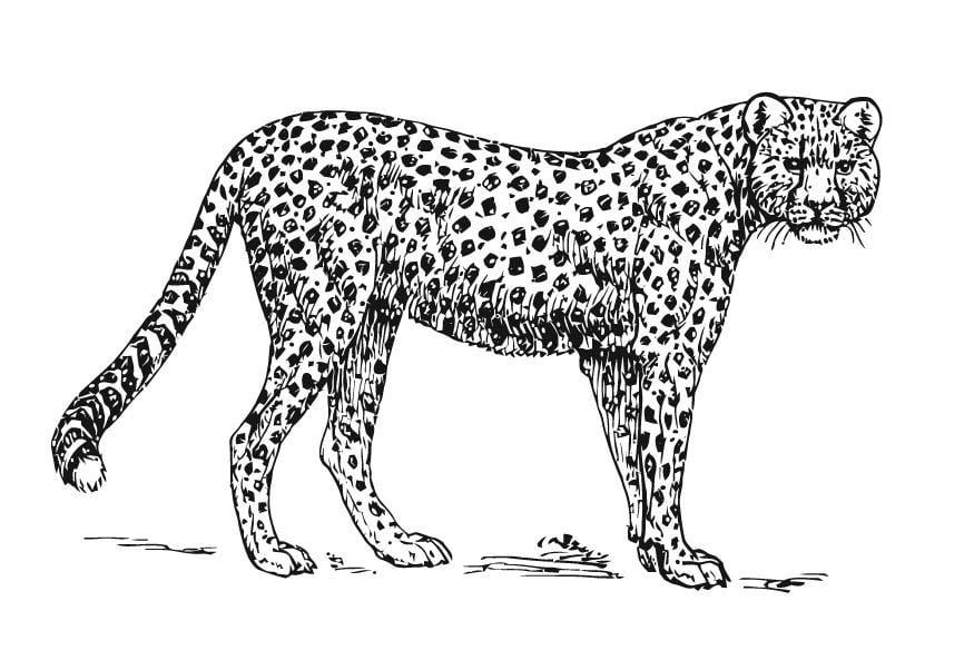 kleurplaat jachtluipaard cheetah gratis kleurplaten om