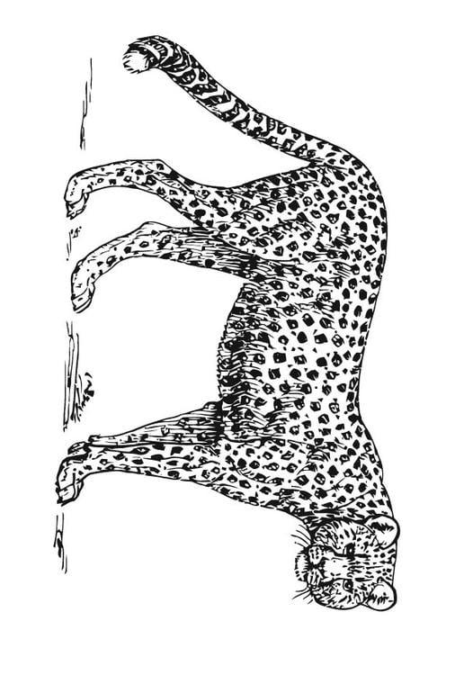 Kleurplaat Jachtluipaard Cheetah Afb 15727