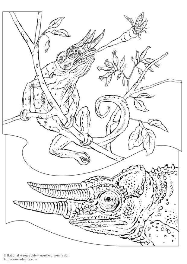 Kleurplaat Kameleon Afb 5736 Images