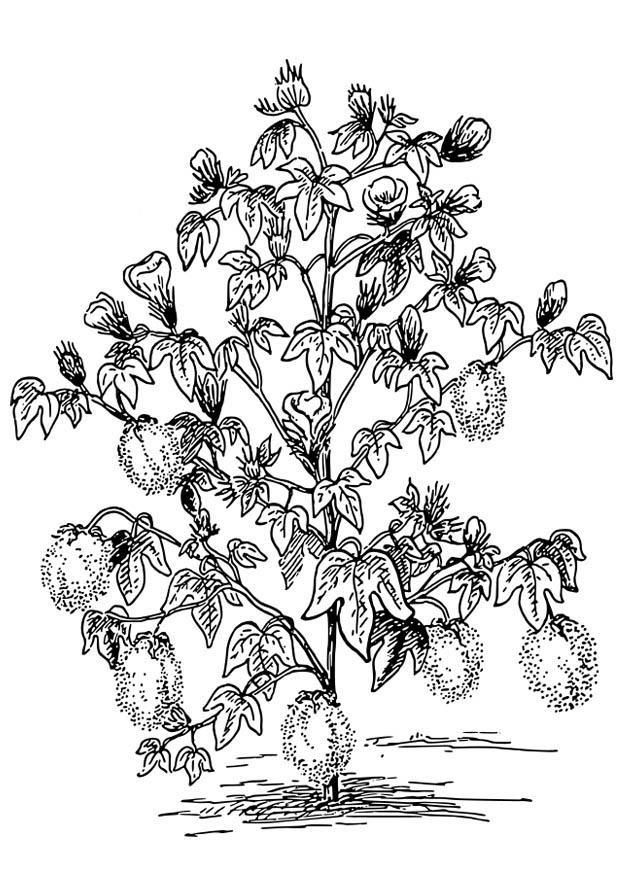 kleurplaat katoenplant