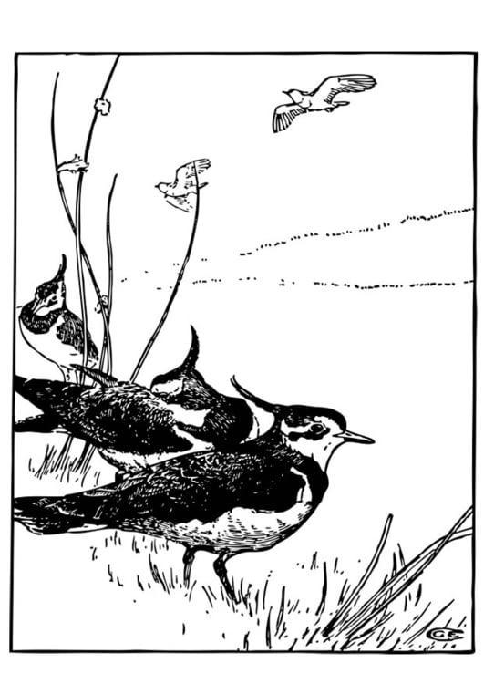 Afbeeldingen Vogels Kleurplaten Kleurplaat Kievit Afb 17380