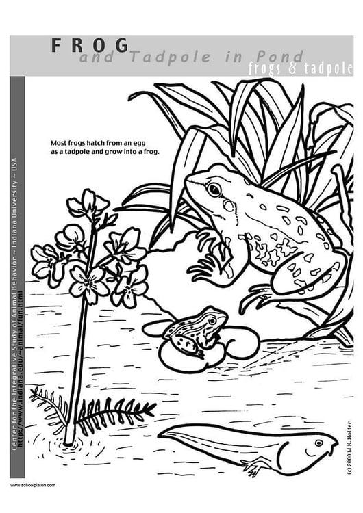 Kleurplaten Kikker.Kleurplaat Kikker Afb 2949 Images