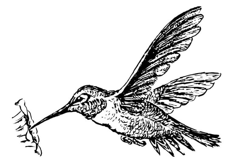 kleurplaat kolibrie afb 15722