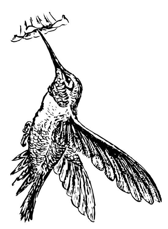 Afbeeldingen Vogels Kleurplaten Kleurplaat Kolibrie Afb 15722