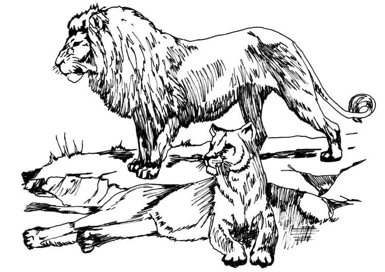 kleurplaat leeuw en leeuwin afb 16633