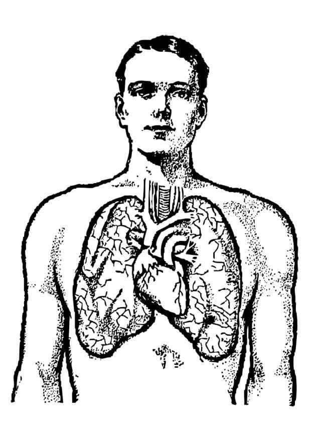 Kleurplaat longen  Afb 25583 Images