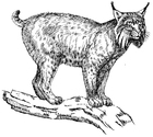 Kleurplaat lynx