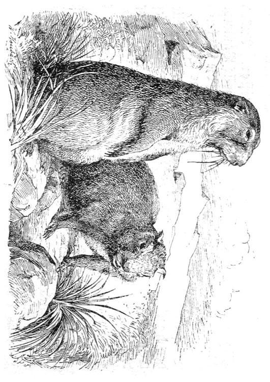 Afbeeldingen Eekhoorn Kleurplaat Kleurplaat Marmot Afb 9765