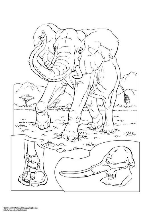 Kleurplaat Olifant Afb 3054