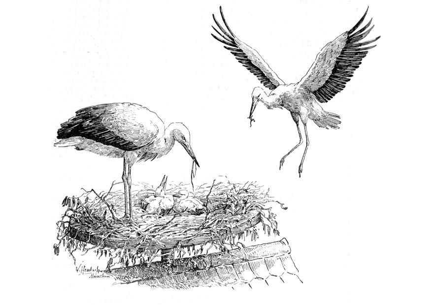 Afbeeldingen Vogels Kleurplaten Kleurplaat Ooievaar Op Nest Gratis Kleurplaten Om Te Printen