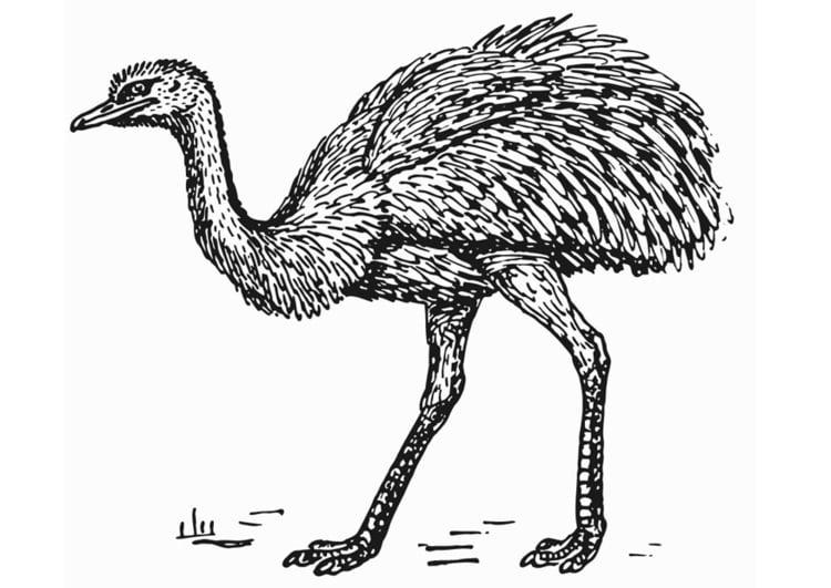 Kleurplaat Rhea Struisvogel Afb 13278 Images