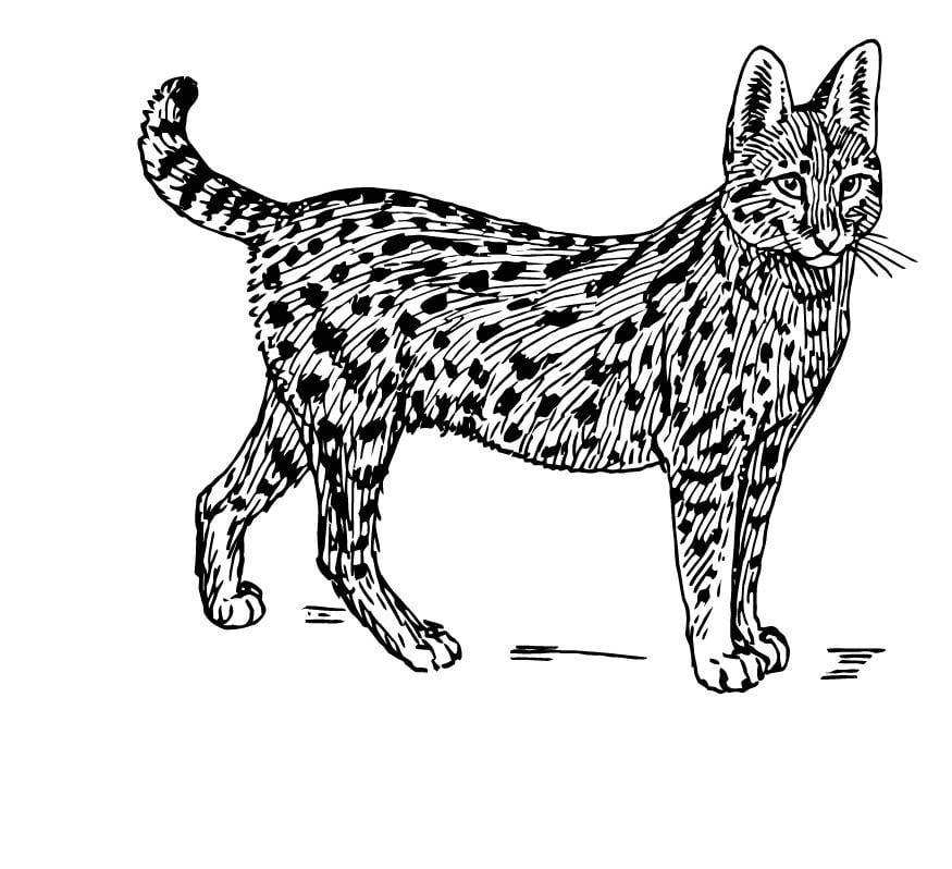 kleurplaat serval afb 15764
