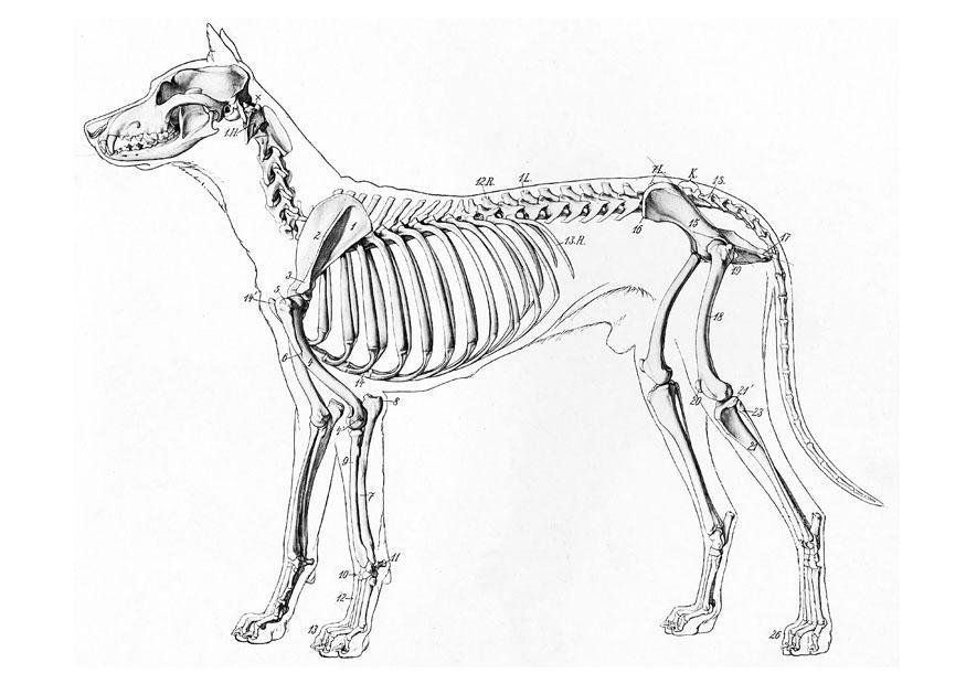 kleurplaat skelet van hond