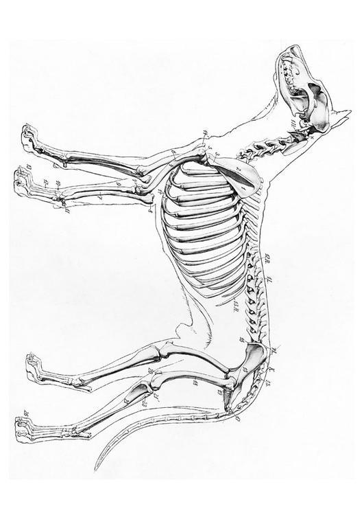 Kleurplaat Skelet Van Hond Afb 19660