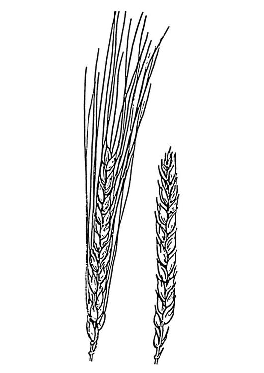 wheat coloring pages - photo#13