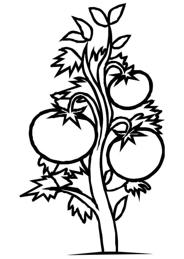 Afbeelding Courgette Kleurplaat Kleurplaat Tomatenplant Gratis Kleurplaten Om Te Printen