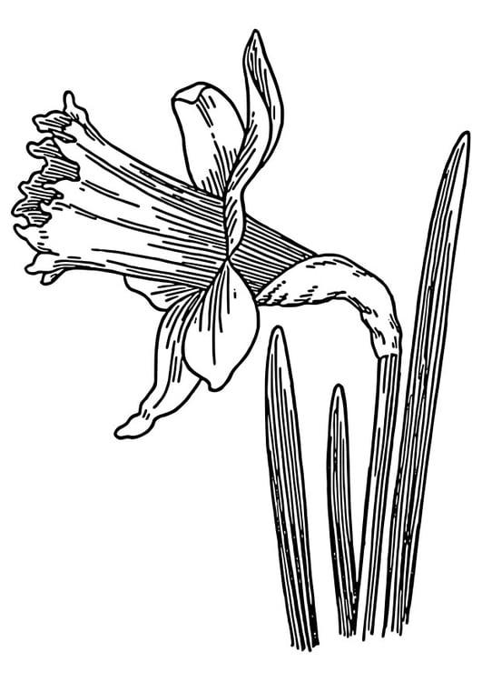 Kleurplaat Trompetnarcis Afb 22327