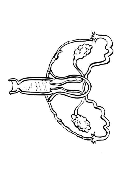 Kleurplaat Mond Kleurplaat Vrouwelijk Voortplantingsstelsel Afb 9495