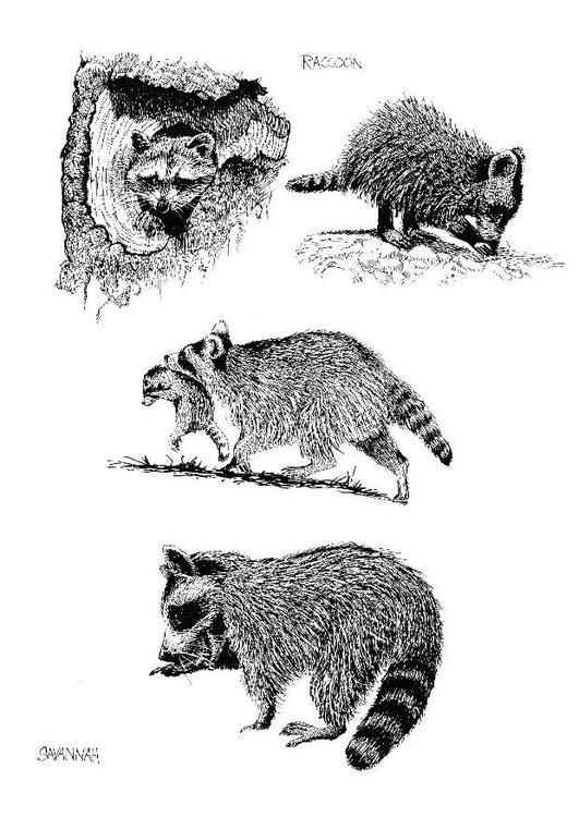 Kleurplaat Wasbeer Afb 8569