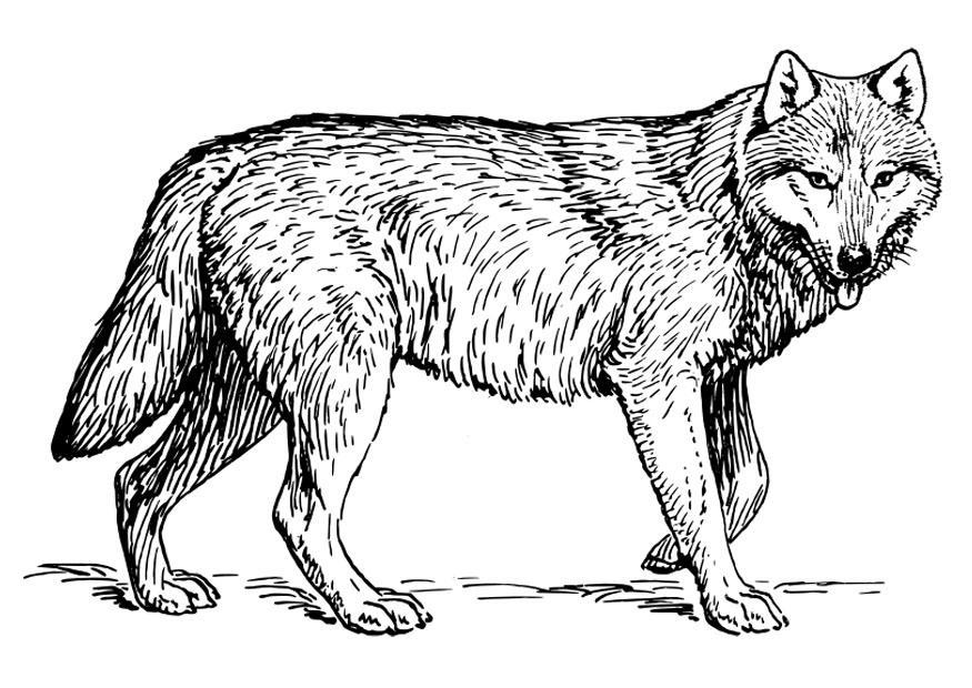 Kleurplaat Wolf Afb 22786