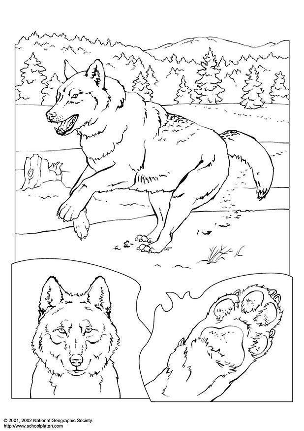 Kleurplaten Dieren In Het Wild Kleurplaat Wolf Afb 3081