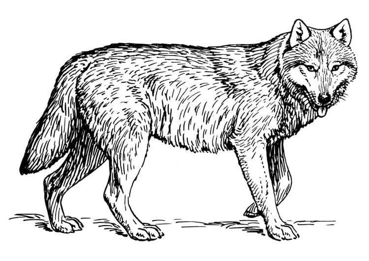 Kleurplaten Wolf.Kleurplaat Wolf Afb 22786