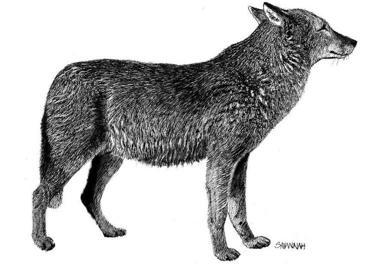 Kleurplaat Wolf Afb 8570