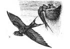 Kleurplaat zwaluw